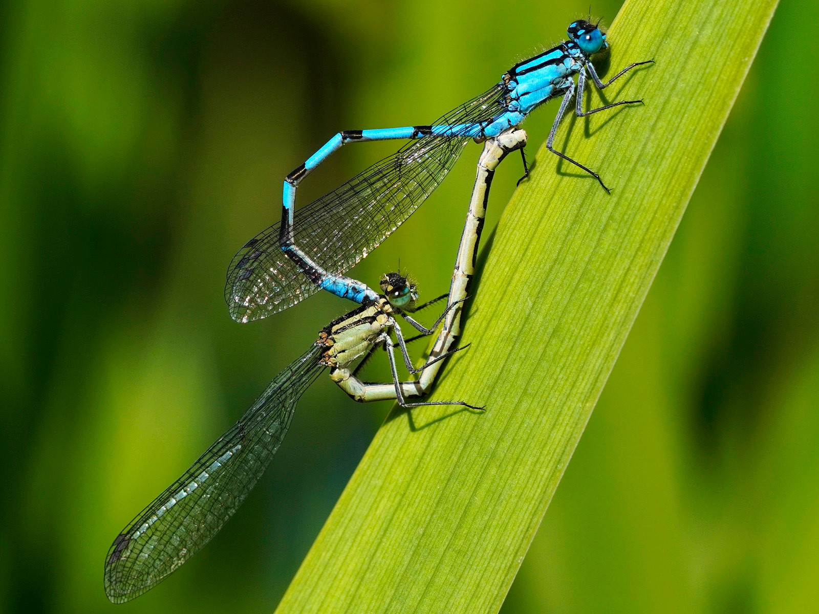 COLOUR - Mating Damselflies by Rowland White (13 marks) - Starred