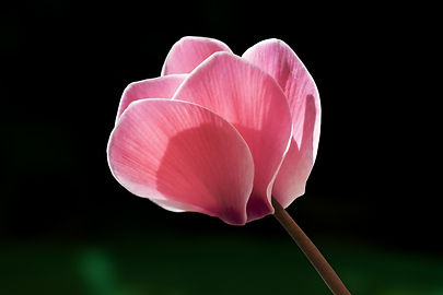 A photo of Cyclamen (a flower)