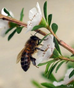 Manuka Honey can decrease antibiotic resistance!