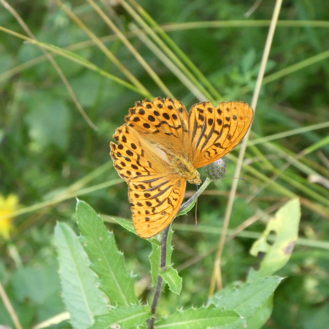 Schmetterling auf Bergmahd