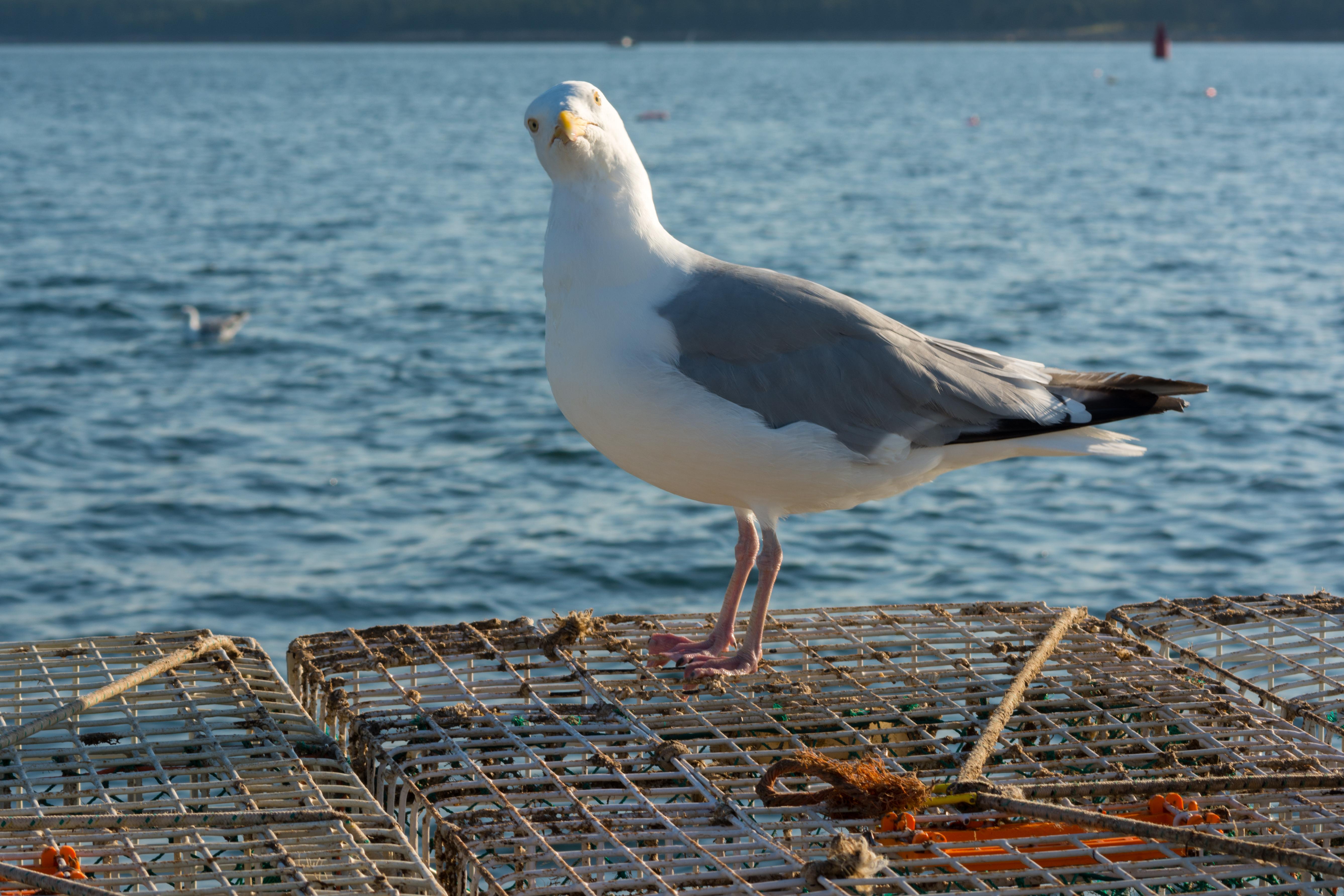 Sea Gull Guarding Lobster Traps
