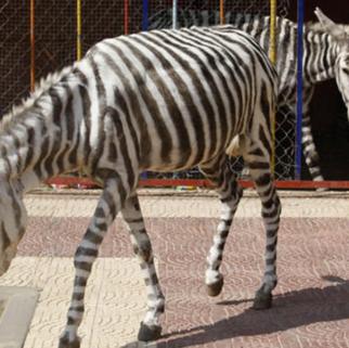 gaza zebra donkey.png