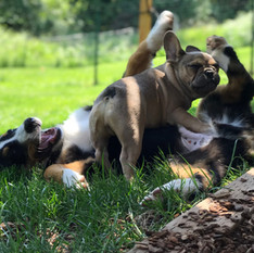 Django playing with his buddy Linc  5-31-19