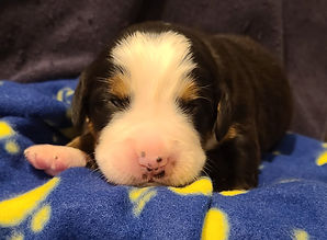 Dark Blue Boy#4... 10 days old... eyes o