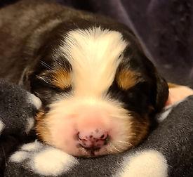 Black Dog Boy #1 -A- 10 days old... 2021