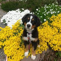 Moxie and garden yellow alysum 5-19-19