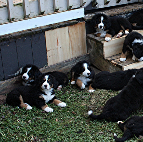 All 11 Puppies at 7 weeks old 03-22-2019