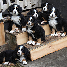 Ally, top left, Biscuit, Olive, Harper Gus and Django at 8 weeks old