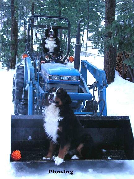 Bella Berners Ranch Bernese Mountain Dog Puppies