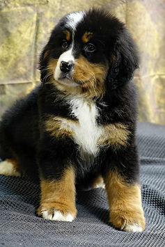 Bella Berners Ranch Bernese Mountain Dog Puppies