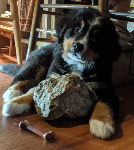 Bernie-Bear at home Rock Hound March 2020