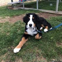 Bernie at the park  5-25-19 at 15 1/2 weeks old