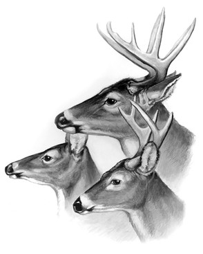 Cliffs+3+whitetails+copy.jpg