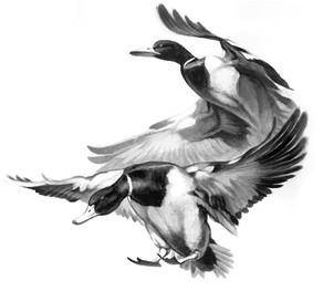 W+duck+shadow+copy.jpg