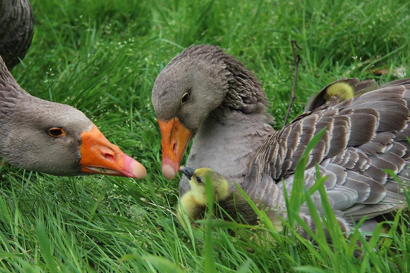 goosefamily2021.jpg