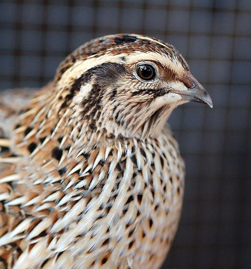 quail2_Cowgirl-Jules.jpg