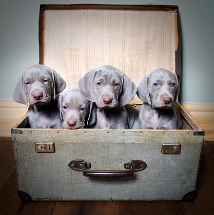 Weimaraner Suitcase Print