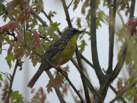 East Tawas Birding Trip Report by aerin tedesco