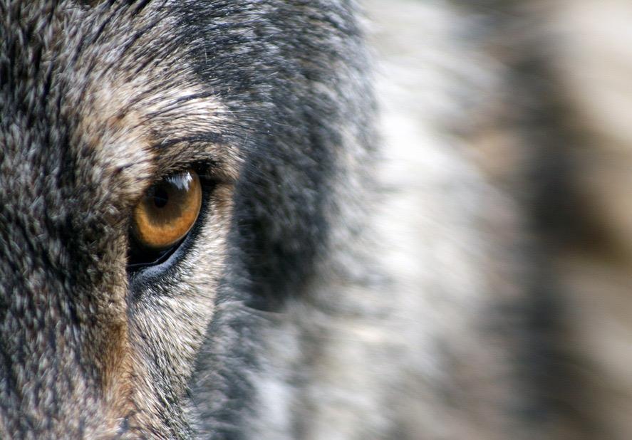 wolf-1352242_960_720_edited