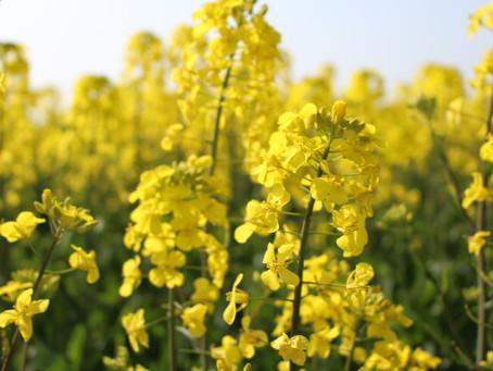 【お知らせ】菜の花畑が満開です