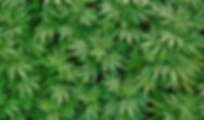 Cannabis-11-1132x670.jpg