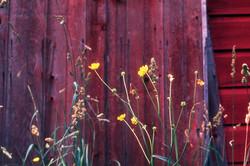 CANAAN FLOWERS.jpg