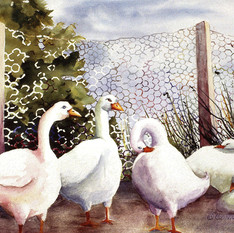 Fenced In Quackers