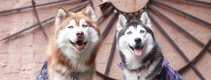 Siberian husky, husky, husky dog, siberian husky, siberean husky