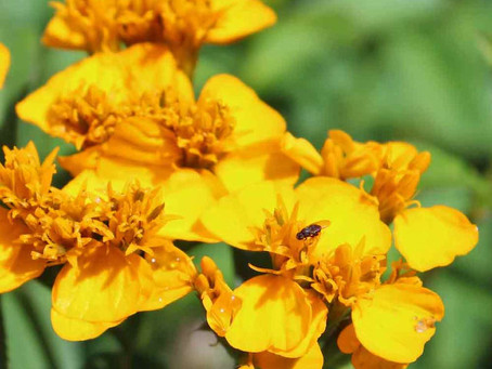 Mexican Plant Santa Maria has psychoactive properties and is used to relax nerves.