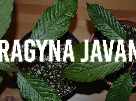 Mitragyna Javanica – Is It a Worthy Kratom Alternative?