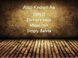 Microdosing Salvia for Higher Conciousness