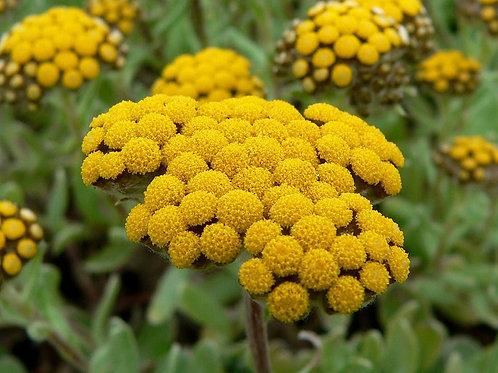 Helichrysum odoratissmumimphepho dried flowers 5gms smoke or Tea