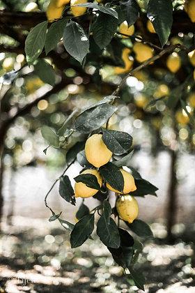 Amalfi Citrons