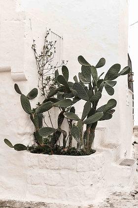 Ostuni cactus