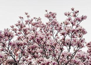 Magnolie Spring