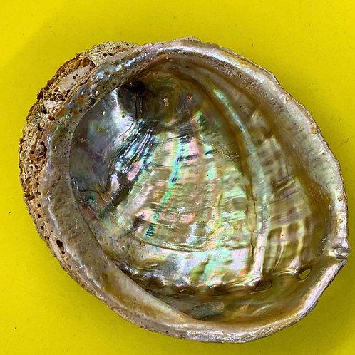"""Abalone Shell 3-4"""""""