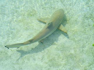 nurse shark bahamas
