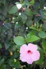 hibiscus bahamas