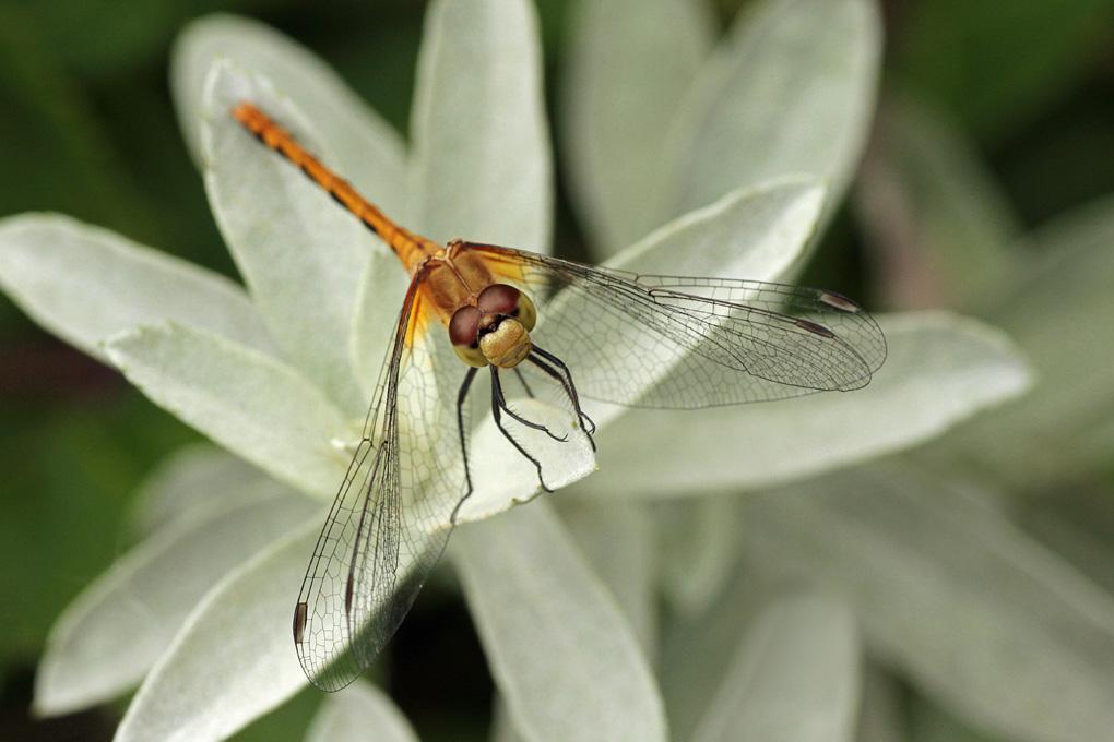 Linda Mueller 1, Dragonfly