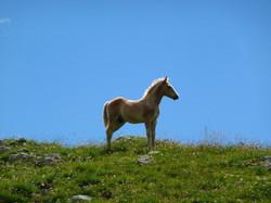 Jeune cheval.