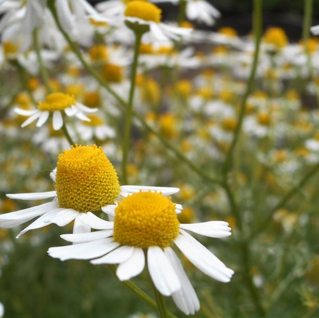 chamomile closeup.jpeg