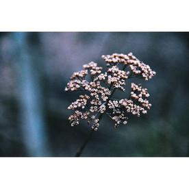 #winterflora #landscape #dscolor #nature #nikon #d90 #flora #queenanneslace