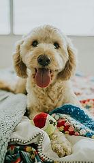 jay-wennington-393137-doodle puppy.jpg