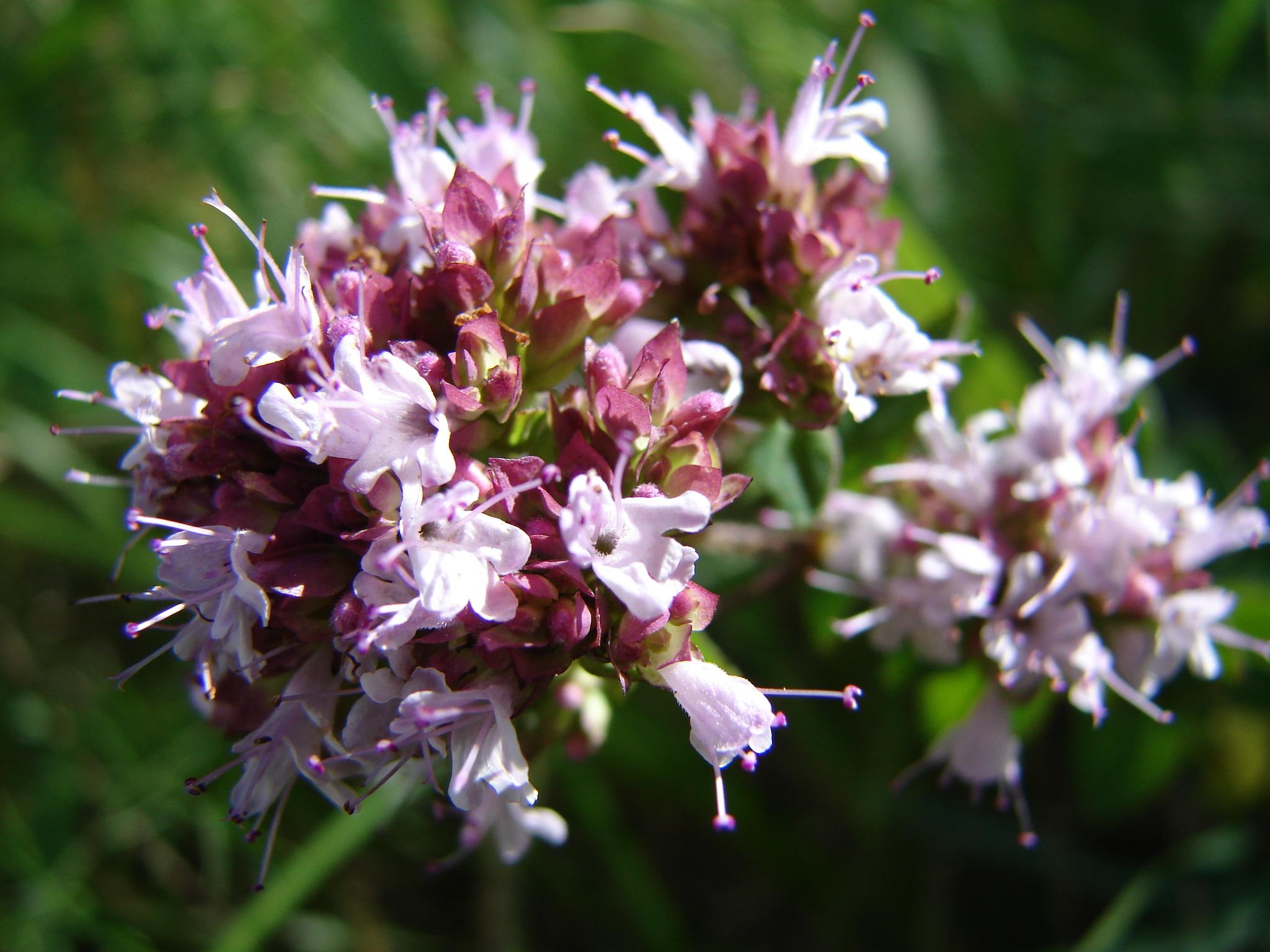 origan - Origanum vulgare (1).JPG