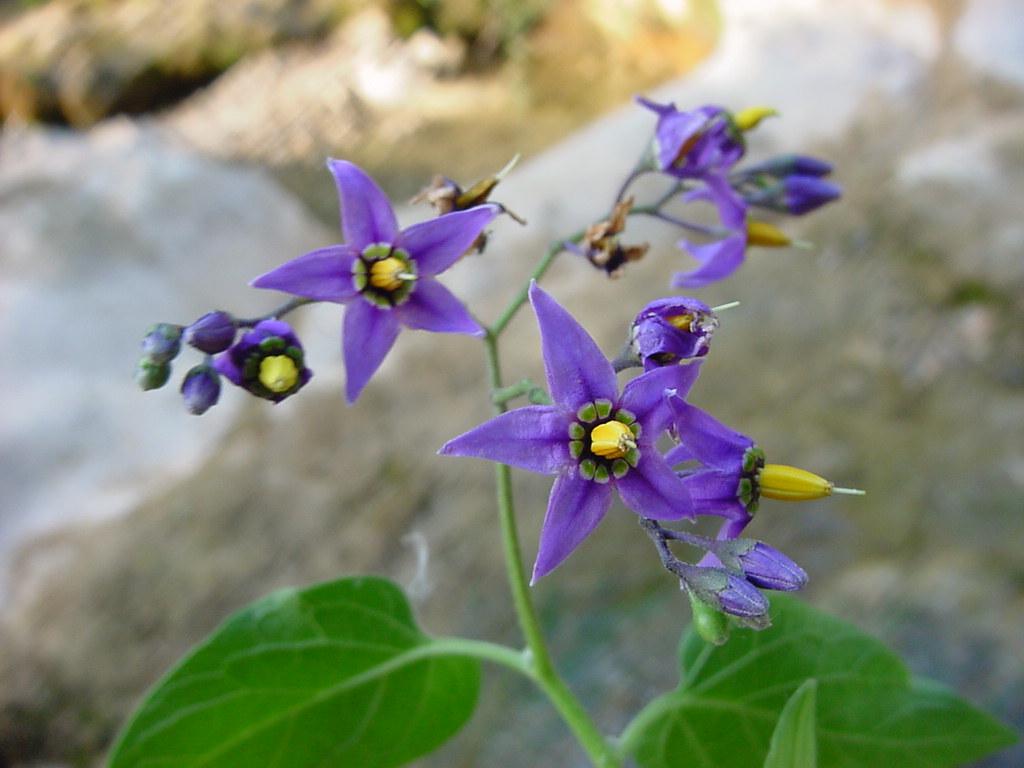 Solanum dulcamara.JPG