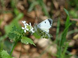 alliaire - Alliaria officinalis (1).JPG