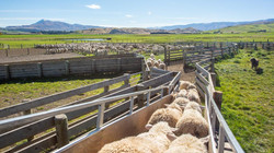 Unloading sheep in Central Otago.