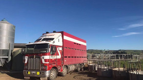 Brad & Tait Carting Cattle on Monday