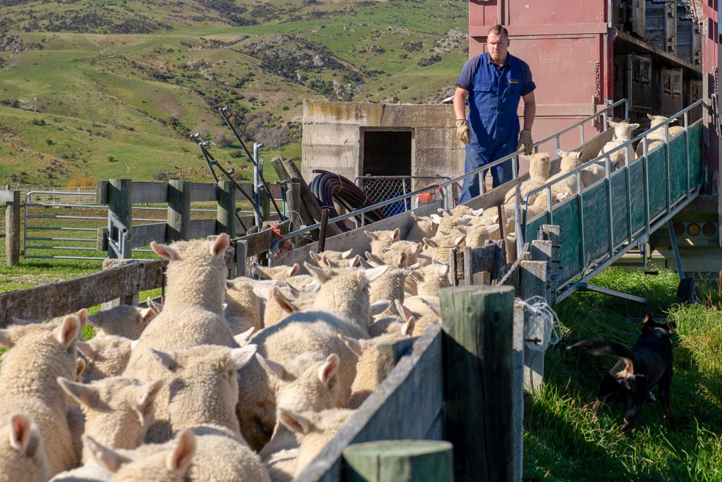 Loading sheep.