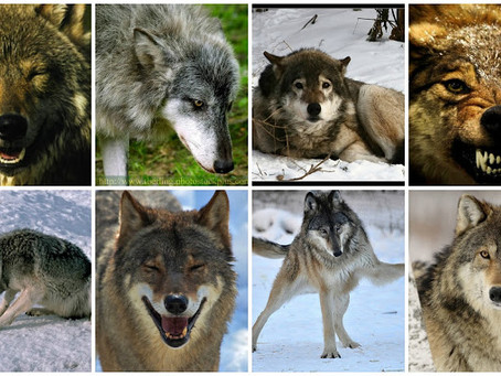 The Story of WOLVES and EMPATHY